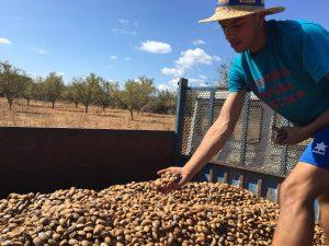 Mandelernte auf Mallorca Alaiar MAllorca Landwirtschaft auf MAllorca
