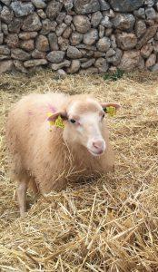 Ökologische Schafhaltung auf MAllorca